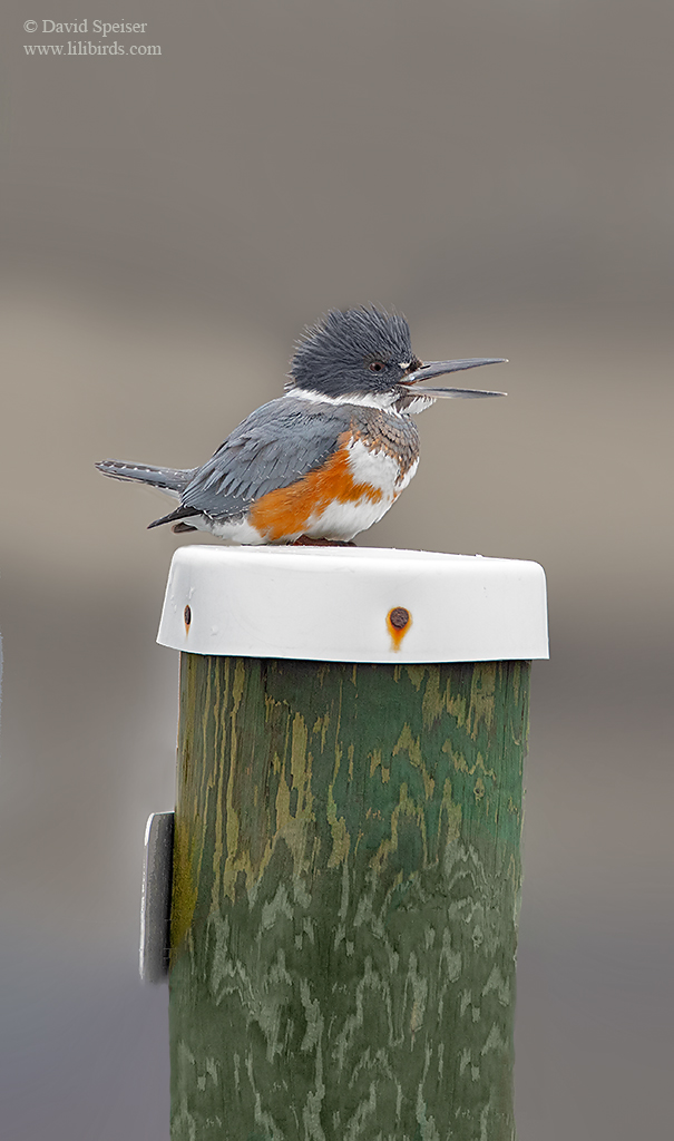 belted kingfisher 4 ws
