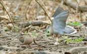 white winged dove cp 1a 1024 ws