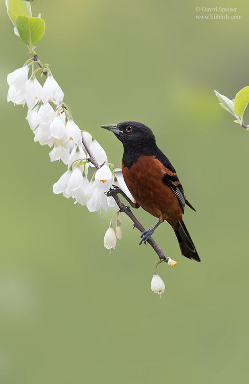 orchard oriole 1a cp ws