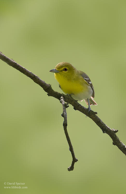 yellow throated vireo 1 cp 1024 ws