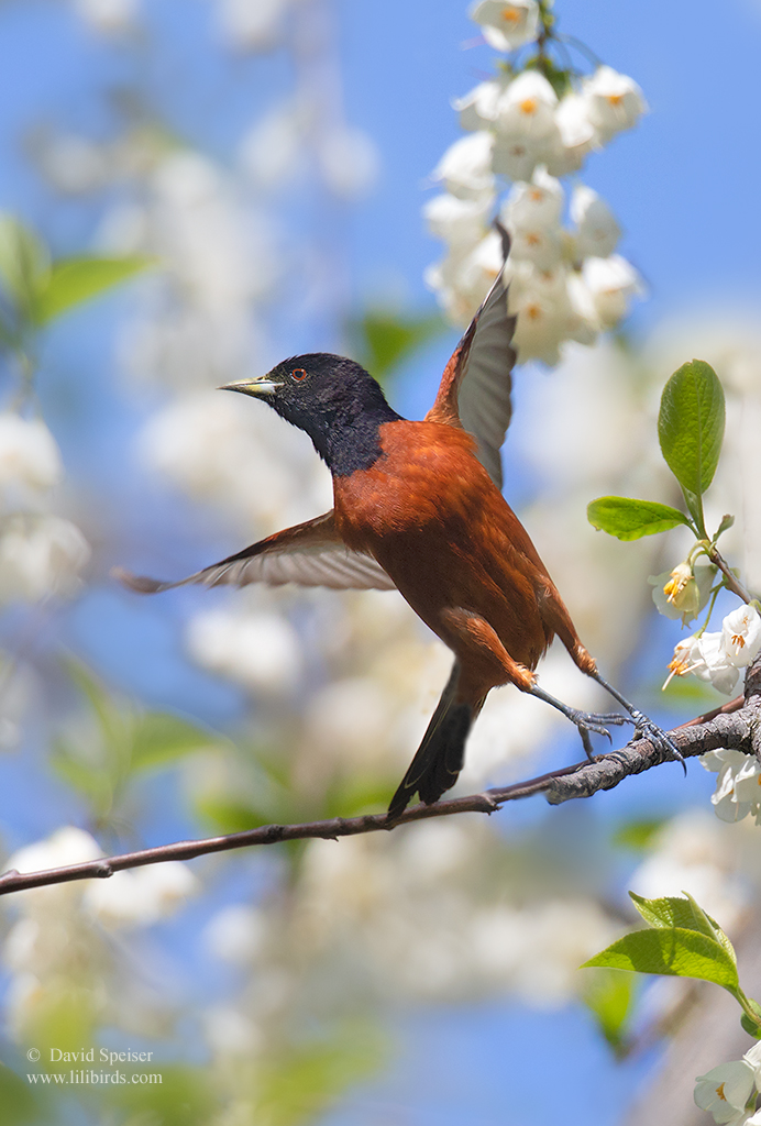 orchard oriole 2 cp 1024 ws