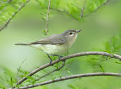 warbling vireo 2a cp 1024