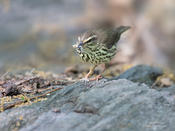 northern waterthrush 1 cp 1024 ws