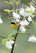 common yellowthroat 1 cp 1024 ws