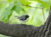 black throated blue warbler 1 cp 1024 ws