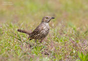 sage thrasher 2 jc 1024 ws