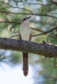 black billed cuckoo 2a sf 1024 ws