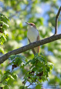 black billed cuckoo 3 1024 ws