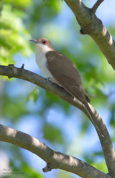 black billed cuckoo 5 1024 ws