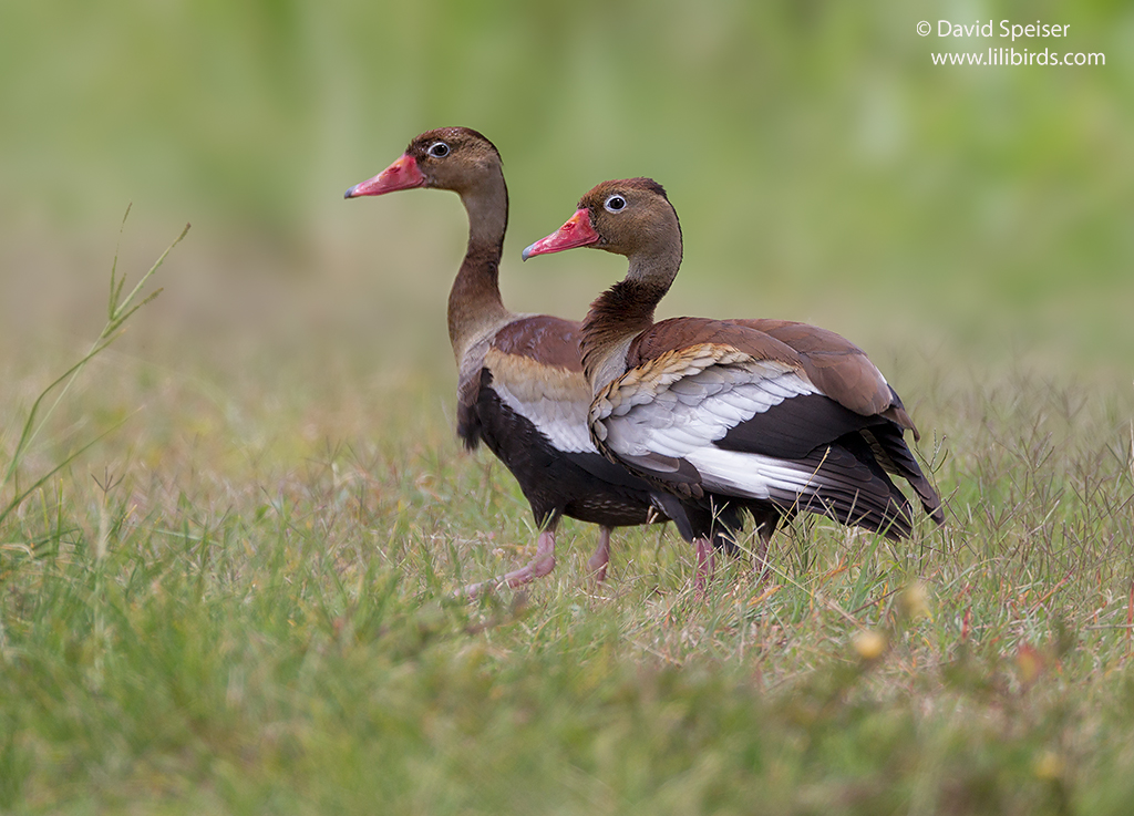 black bellied whistling duck 1 1024
