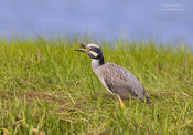 yellow crowned night heron 2 O 1024 ws