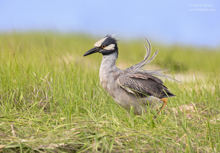 yellow crowned night heron 1 O 1024 ws