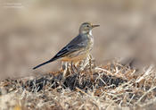 american pipit 1c 1024 ws
