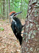 pileated woodpecker 1 kb 1024 ws
